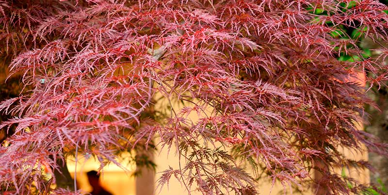 Bloodgood Japanese maples