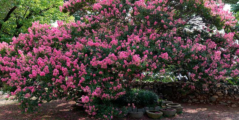 crepe myrtles trees